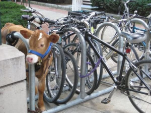 Cow parked in bike rack